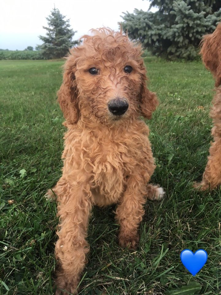 Goldendoodle Male